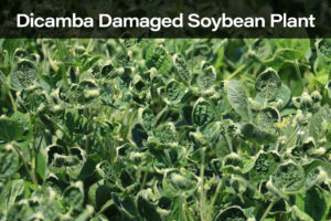 Dicamba Damaged Soybeans